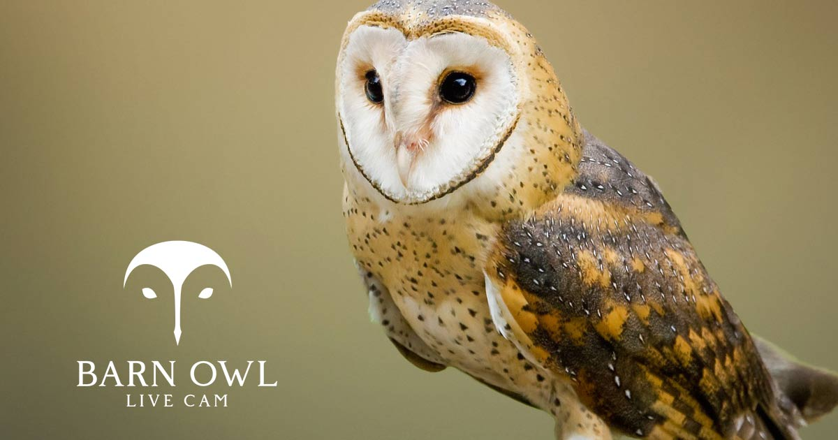 Watch The LIVE Barn Owl Cam Online | CarbonTV