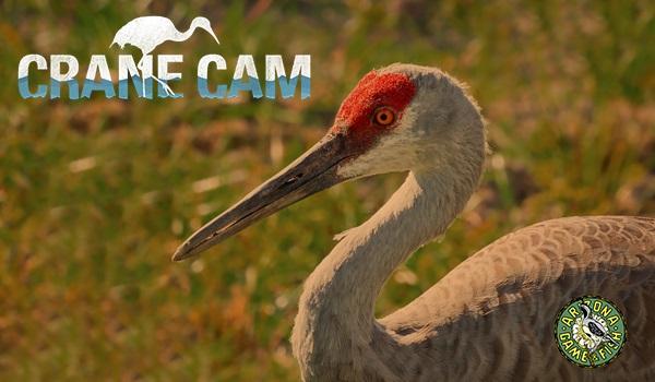 LIVE Sandhill Cranes Cam