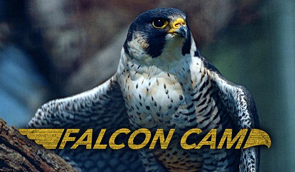 Peregrine Falcon Cam