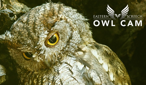 Eastern Screech Owl Cam, Grapevine, TX | CarbonTV