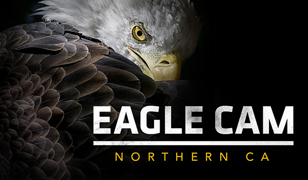 Northern California Eagle Live Cam