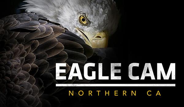 Northern California Eagle Live Cam