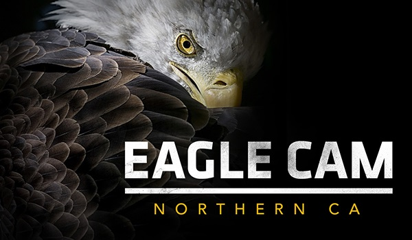 LIVE Northern California Eagle Cam