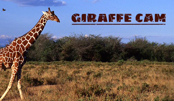 Live Giraffe Cam