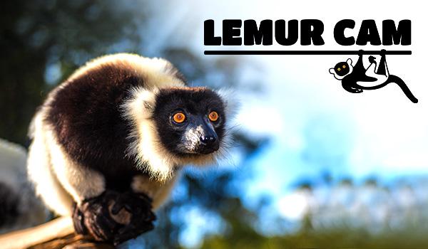 LIVE Lemur Cam